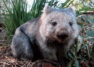 "Well... it's a wombat. Sitting in some bush somewhere. Wombats are cute, fuzzy little marsupials that can be a lot meaner than they look. You should totally read about them. Fun! Also '""Diary of a Wombat"" by Jackie French is a great book."