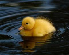 Cute little yellow duckling floating in near-black water.