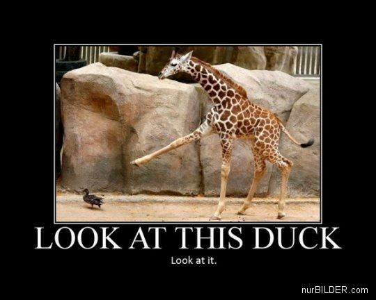 Image of a giraffe holding out its leg dramatically to point at a duck. Caption reads: LOOK AT THIS DUCK. Look at it.
